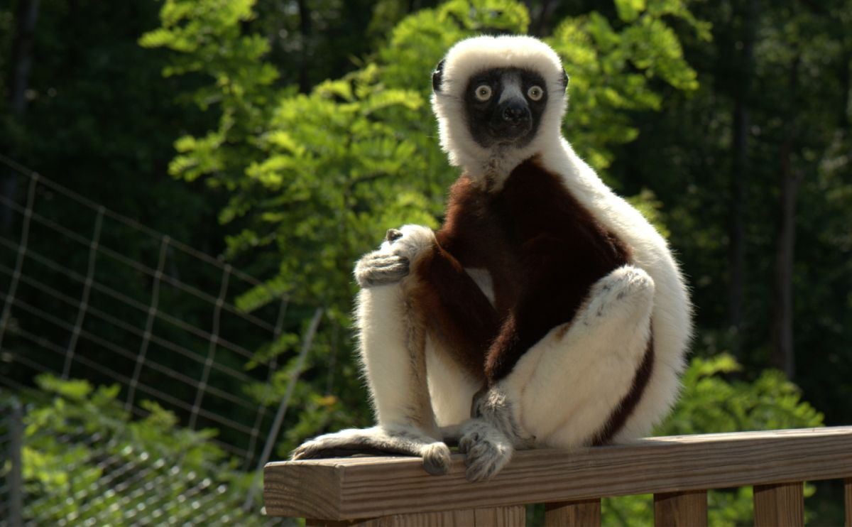Zoboomafoo Puppet Lemur star of Zoboomafoo